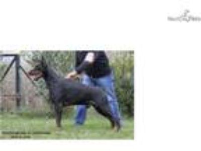 AKC Euro World Ch lines show/working doberman pup
