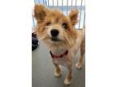 Adopt Snuggles a Pomeranian / Mixed dog in Pittsburgh, PA (25483728)