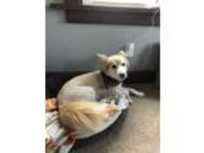 Adopt Izzie a Tan/Yellow/Fawn - with White American Eskimo Dog / Golden