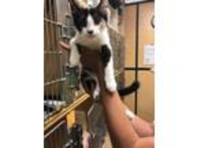 Adopt Callie a White Domestic Shorthair / Domestic Shorthair / Mixed cat in