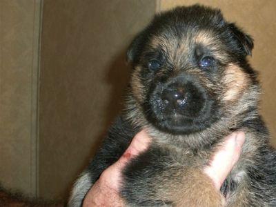 German Shepherd Dog PUPPY FOR SALE ADN-97832 - AKC GERMAN SHEPHERD PUPPIES