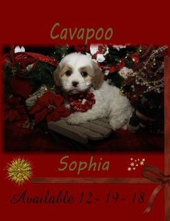 Cavapoo and Cavalier King Charles Pups
