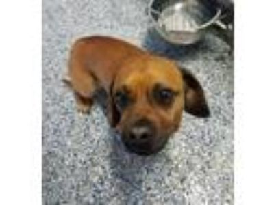 Adopt Mikey a Pug / Mixed dog in Angola, IN (25631490)