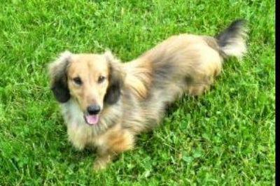 Standard Longhair Dachshund Puppies