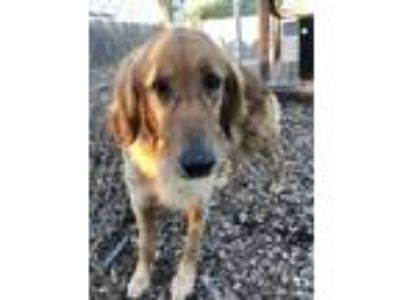 Adopt Ruby a Red/Golden/Orange/Chestnut Golden Retriever / Mixed dog in Pacific