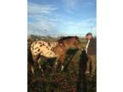 Spirit a 12 year old beautiful gelding who is looking for a new home