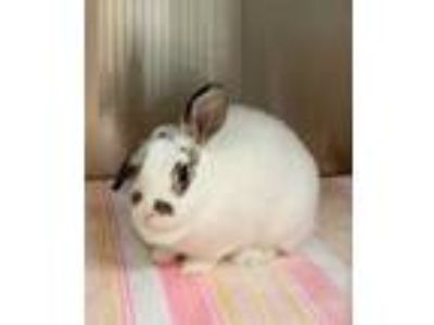 Adopt Freckles a White Lop-Eared / Dutch / Mixed rabbit in Worcester
