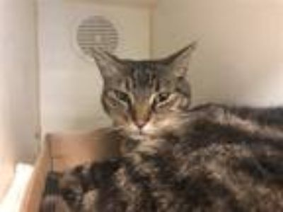 Adopt Quin a Domestic Shorthair / Mixed (short coat) cat in Brooklyn