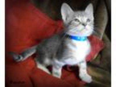 Adopt BOUNCE a Gray, Blue or Silver Tabby Domestic Shorthair (short coat) cat in