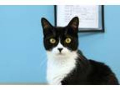 Adopt Bugsy a Domestic Short Hair