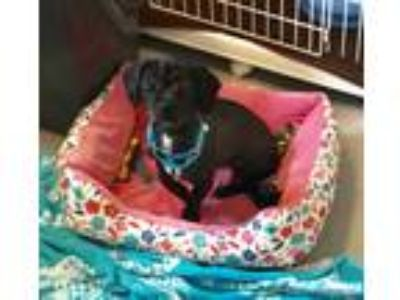 Adopt Chewy a Black Shih Tzu / Mixed dog in Randolph, NJ (25906404)