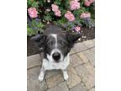 Adopt Minnie a Border Collie