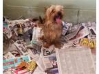 Adopt Rescue Only a Yorkshire Terrier