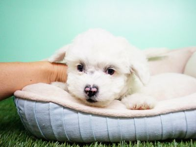Maltipoo PUPPY FOR SALE ADN-105267 - Maltipoo Male Gumbo