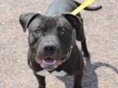 Adopt CHUBBLES a American Staffordshire Terrier, Mixed Breed