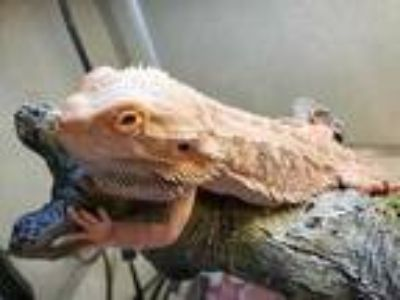 Adopt CHARIZARD a Lizard / Mixed reptile, amphibian, and/or fish in Waterford