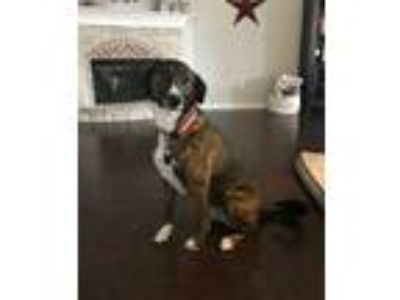 Adopt Kona a Brindle Boxer / Labrador Retriever dog in Celina, TX (24854912)