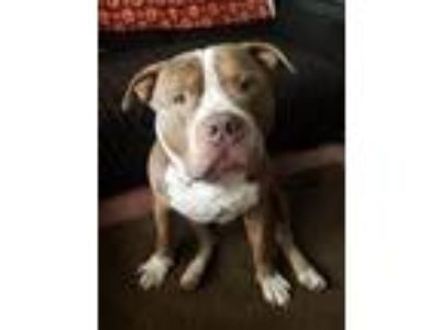 Adopt Lennox a Brown/Chocolate - with White Pit Bull Terrier / Mixed dog in