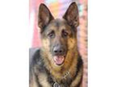 Adopt Bruce von Bruch a Black - with Tan, Yellow or Fawn German Shepherd Dog /