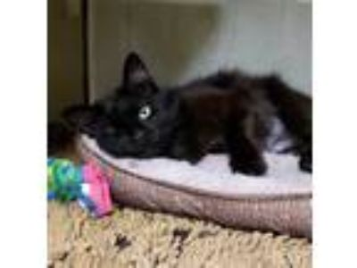 Adopt Midnight a All Black Domestic Longhair / Domestic Shorthair / Mixed cat in