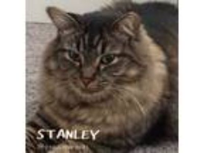 Adopt Stanley a Maine Coon