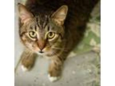 Adopt Boots a Brown or Chocolate Domestic Shorthair cat in Walker, MI (25348063)