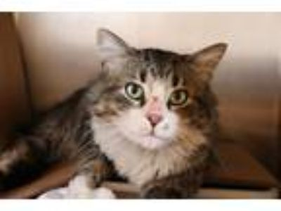 Adopt Sydney a Domestic Mediumhair / Mixed (short coat) cat in Dearborn