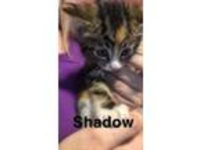 Adopt Baby Shadow a Tabby