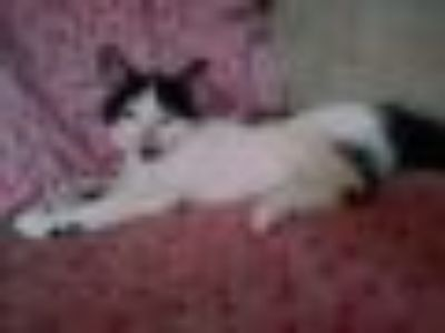 Cameo Domestic Short Hair Cat