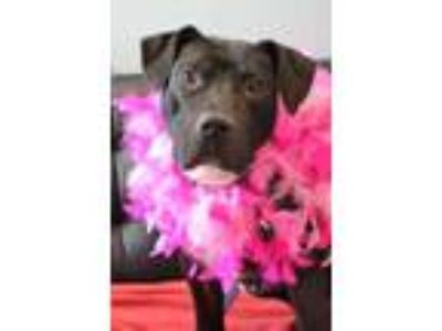 Adopt Pinkie a Black American Pit Bull Terrier / Mixed dog in Philadelphia