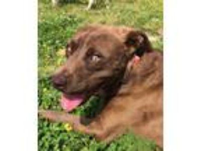 Adopt Arthur a Brown/Chocolate Labrador Retriever / Mixed dog in Memphis