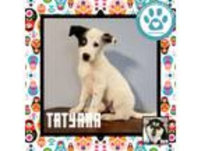 Adopt Tatyana a White - with Black Husky / Shepherd (Unknown Type) / Mixed dog