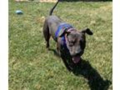 Adopt BELLA a Black Shar Pei / Mixed dog in Tangent, OR (25578726)