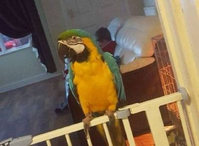 Blue and gold , green winged , scarlet macaw and African Vrey parrots