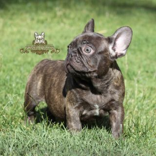 French Bulldog PUPPY FOR SALE ADN-78015 - Chocolate French Bulldog Puppy