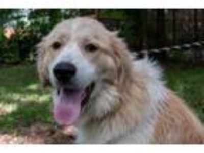 Adopt Tanner a Great Pyrenees