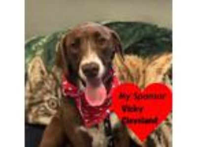 Adopt Duckey a Brown/Chocolate - with White Labrador Retriever / Mixed dog in