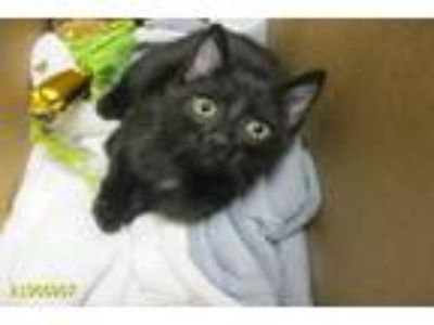 Adopt a All Black American Shorthair / Mixed (short coat) cat in West Palm