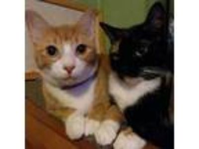 Adopt Rusty a Orange or Red (Mostly) Domestic Shorthair (short coat) cat in