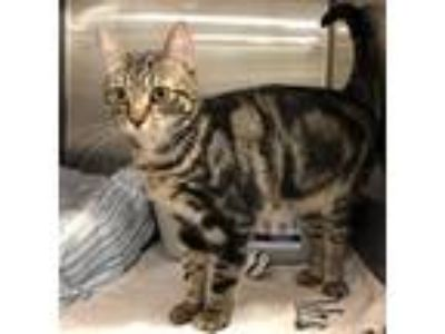 Adopt River a Brown or Chocolate Domestic Shorthair / Domestic Shorthair / Mixed