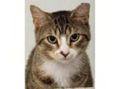 Adopt Mahoney a Gray, Blue or Silver Tabby Domestic Shorthair / Mixed (short