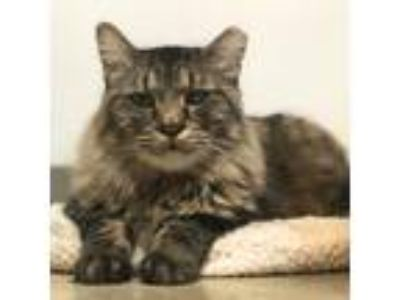 Adopt BT a Brown Tabby Domestic Longhair (long coat) cat in Houston
