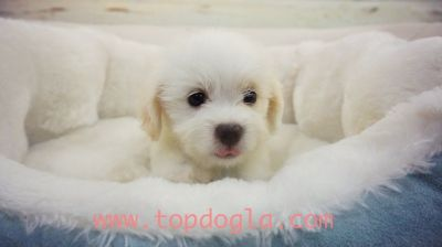 Maltipoo Puppy- Female- Olga ($1.299)