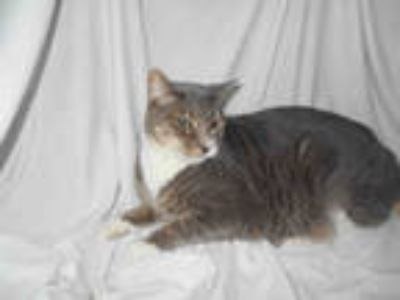 Adopt FITZ a Gray, Blue or Silver Tabby Domestic Shorthair / Mixed (short coat)