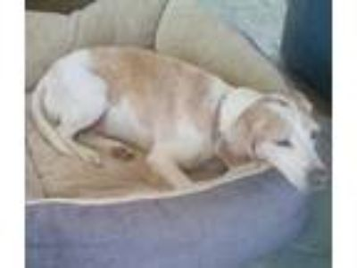 Adopt Cali a Tan/Yellow/Fawn - with White Beagle / Mixed dog in Apple Valley