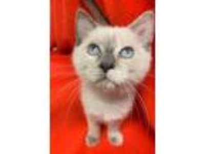Adopt Kitten 18652 a Siamese cat in Parlier, CA (25888561)