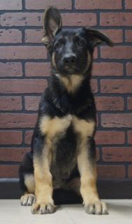German Shepherd Dog PUPPY FOR SALE ADN-96354 - Amazing AKC German  Shepherd Puppies