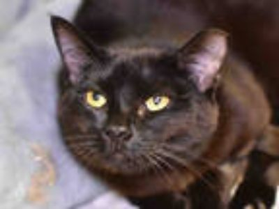 Adopt a All Black Domestic Shorthair / Mixed (short coat) cat in San Jose