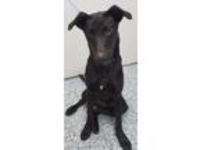 Adopt Henry a Labrador Retriever / Mixed dog in Angola, IN (25359521)