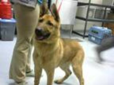 Adopt GRANDPA a Tan/Yellow/Fawn - with Black German Shepherd Dog / Mixed dog in